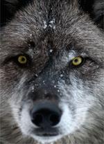 frazier_wolf