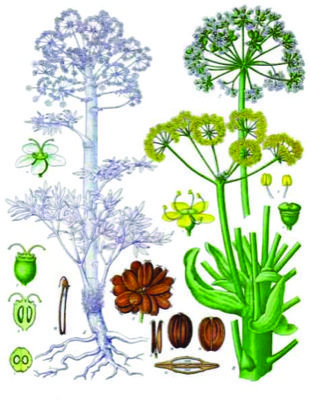 Ferula assa-foetida - Kohlers Medizinal-Pflanzen-061