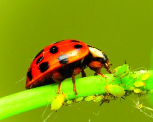One very happy ladybug feasting on aphids.