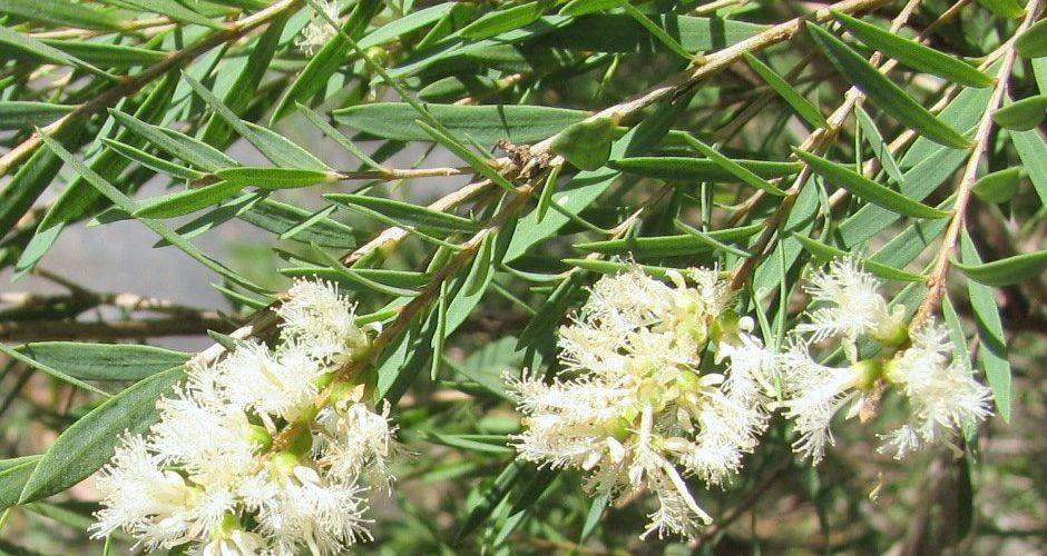 Melaleuca_linariifolia