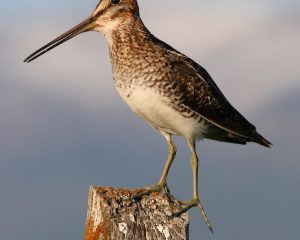 Common_snipe_fencepost