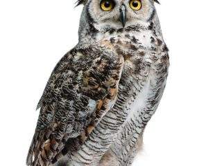 Great Horned Owl, Bubo Virginianus Subarcticus, in front of white background.