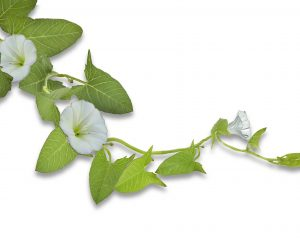 Calystegia sepium is a plant with showy white flowers. However, because of its quick growth, clinging vines and broad leaves, it can overwhelm and pull down cultivated plants including shrubs and small trees.