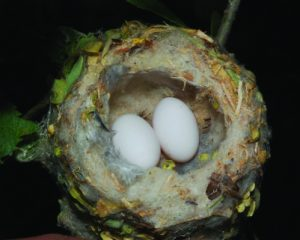 hummingbird-eggs-nest