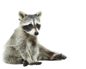 Cute raccoon sitting on the floor isolated on white background