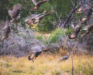 South Texas Rio Grande Turkeys taking off in flight