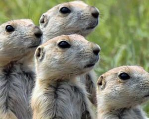 prairie-dogs.jpg.653x0_q80_crop-smart
